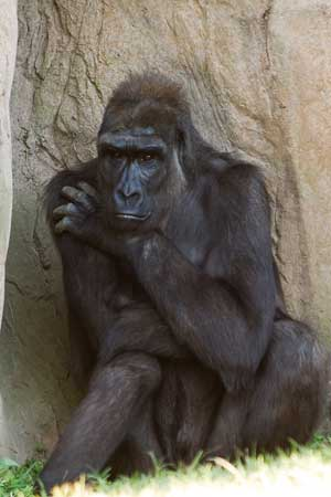 Gorilla in thoughtful pose